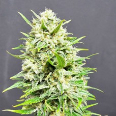 Auto Big Skunk Feminized (AS)