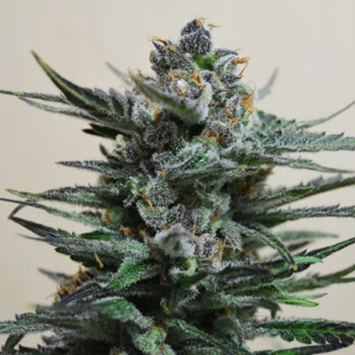 Auto Blueberry Feminized (AS)