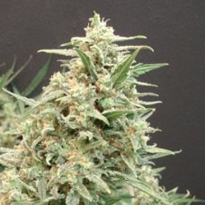 Snow White Amsterdam Feminized (AS)