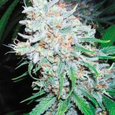 Amnesia Haze Feminised (AS)