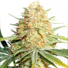 Auto Lemon Zkittle Feminised