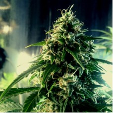 Auto White Russian XXL Feminised (Import)
