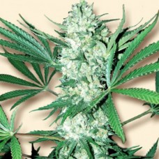 Auto White Widow Feminised  (Украина)
