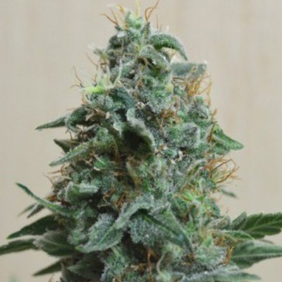 AK Kush Feminised (KS)