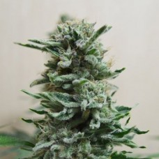 Auto AK Skunk Feminised (KS)