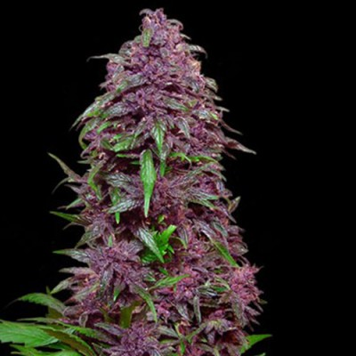 Auto Purple Mazar Feminised (KS)
