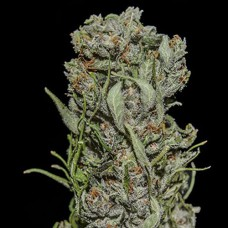 White Critical Express Feminised (KS)