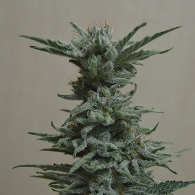 AK Skunk Feminised (KS)