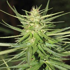 Auto White Widow Feminised (RS)