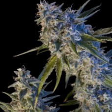 Early Kush Feminised (RS)