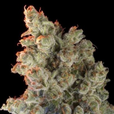 Super Silver Haze Feminised (RS)