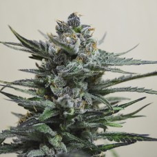 Auto Blue Acid Feminised (KS)