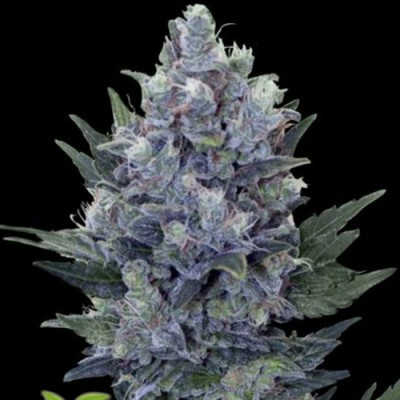 Auto Blue Queen Feminised (SS)