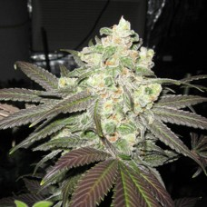 White Widow Feminised (SS)